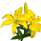 Yellow Lilys