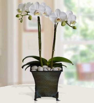 Creme Orchid